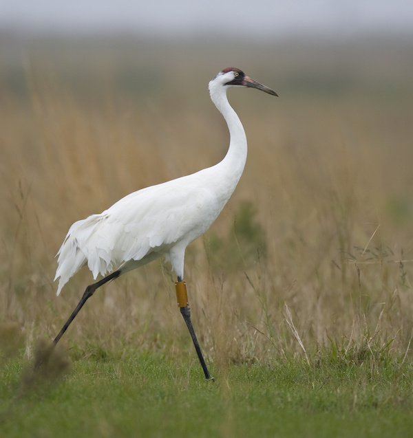 whooping crane tagged