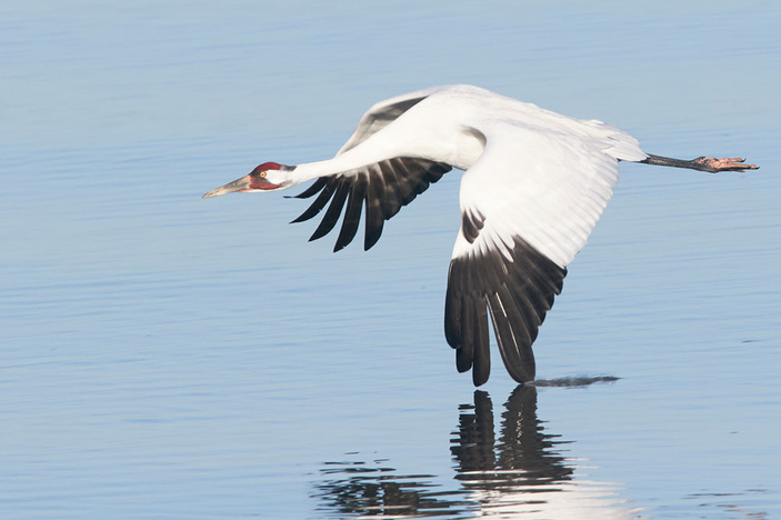 Whooping Crane in the Coastal Bend