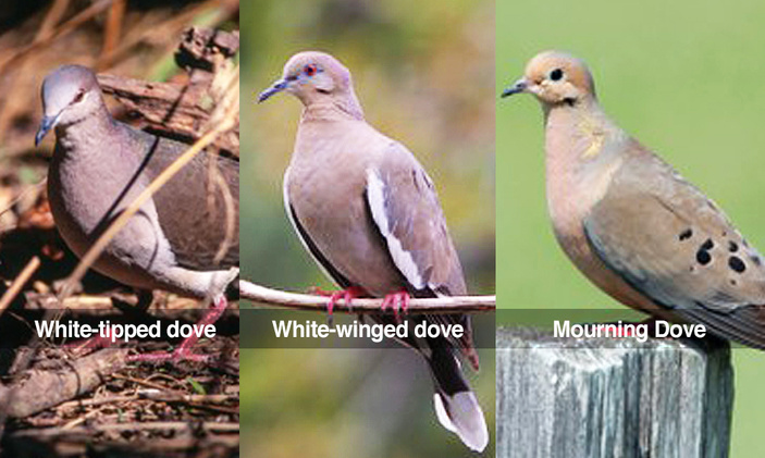 texas parks and wildlife dove season hunting changes public input corpus christi south texas