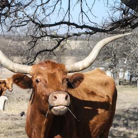 bull registration
