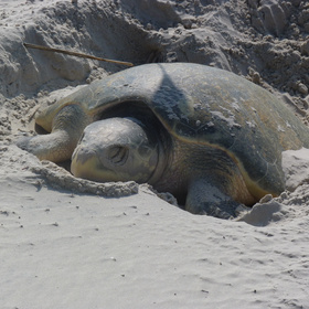 First Nesting Sea Turtle Spotted Easter Sunday Corpus Christi Port Aransas