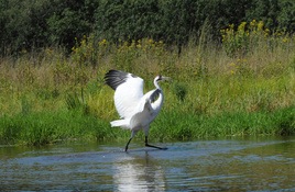 Texas Whooping Crane Population Stable