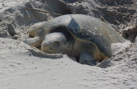 Season's first Nesting Sea Turtle Spotted Easter Sunday