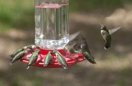 Hummerbird Celebration Returns after Hurricane