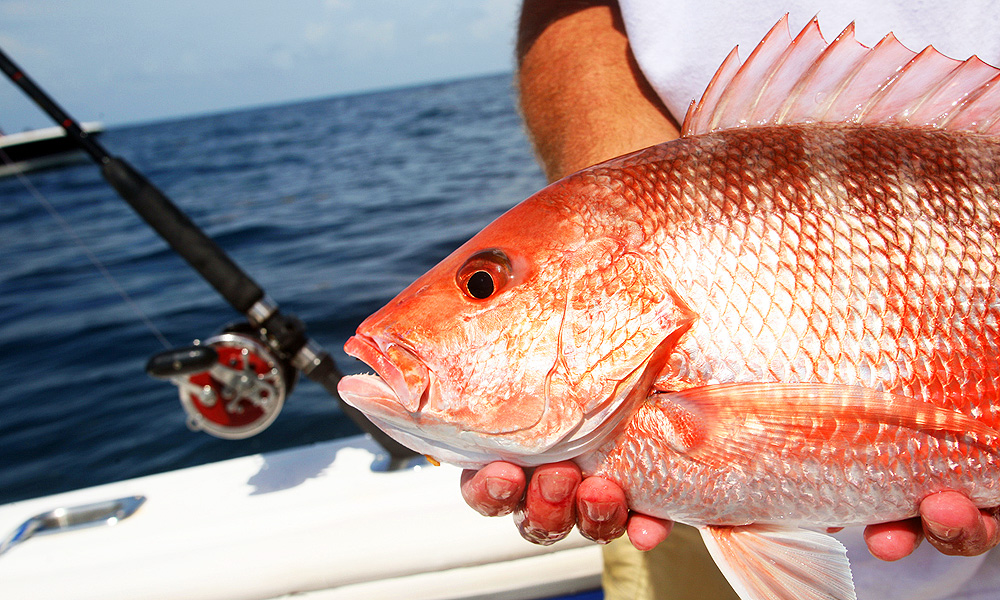 Gulf of Mexico red snapper study