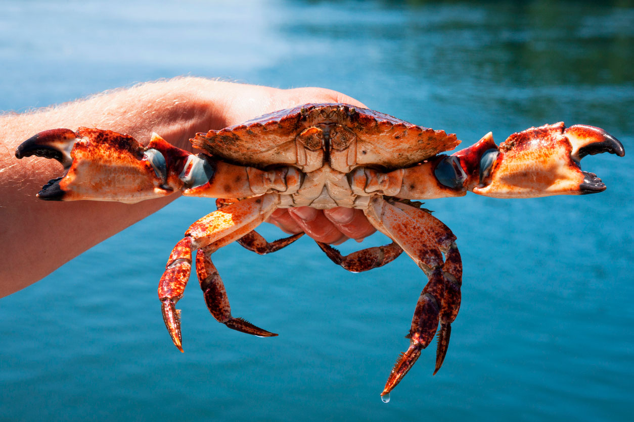Grab a crab by fishing with chicken necks