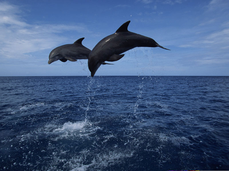 Follow A Pod Of Dolphins